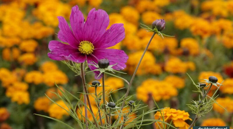 Late bloemenpracht in Stramproy